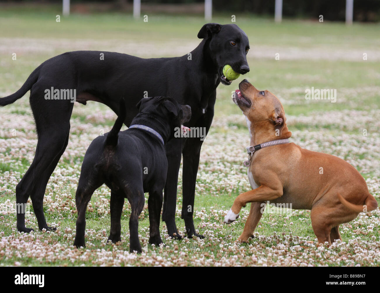 greyhound, with a tennis ball in its mouth, with two Staffordshire bull terriers - Stock Image