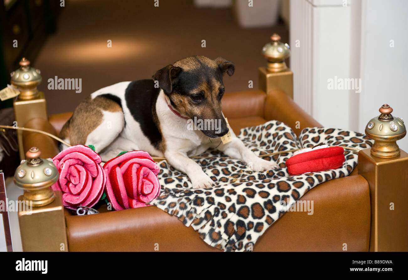 Jack Russell dog sitting on a £ 3950.00 dog bed in Harrod's,  London UK - Stock Image
