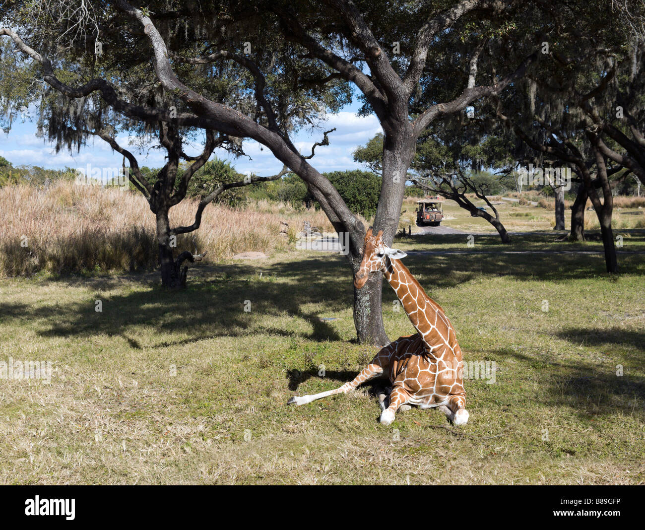 Giraffe on the Kilimanjaro Safari with Safari truck behind, Animal Kingdom, Walt Disney World Resort, Orlando, Florida - Stock Image