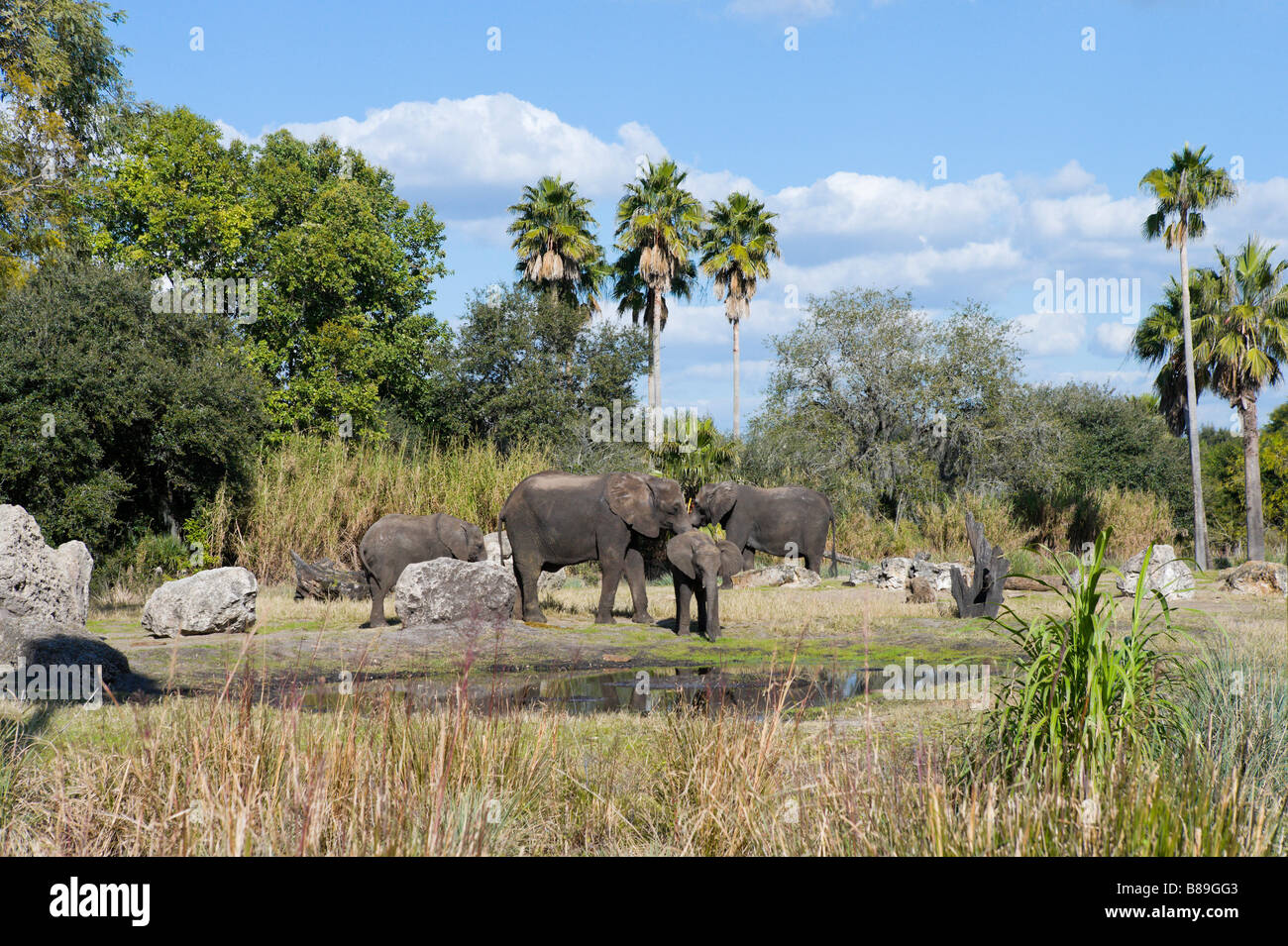 Elephants on the Kilimanjaro Safari, Animal Kingdom, Walt Disney World Resort, Orlando, Florida - Stock Image