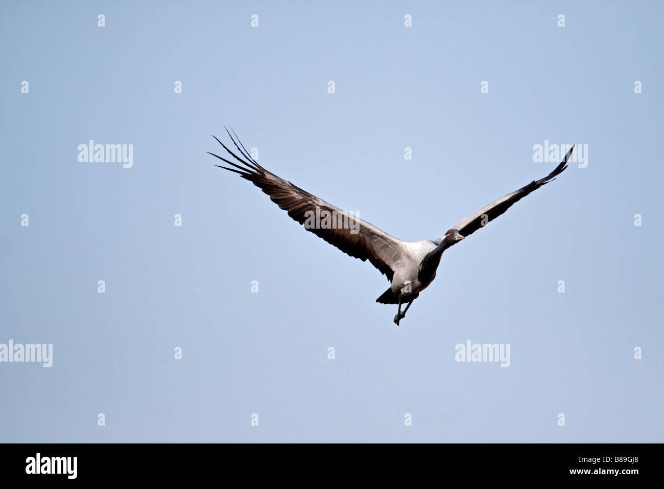 Demoiselle Cranes Anthropoides virgo in flight in the Rann of Kutch - Stock Image