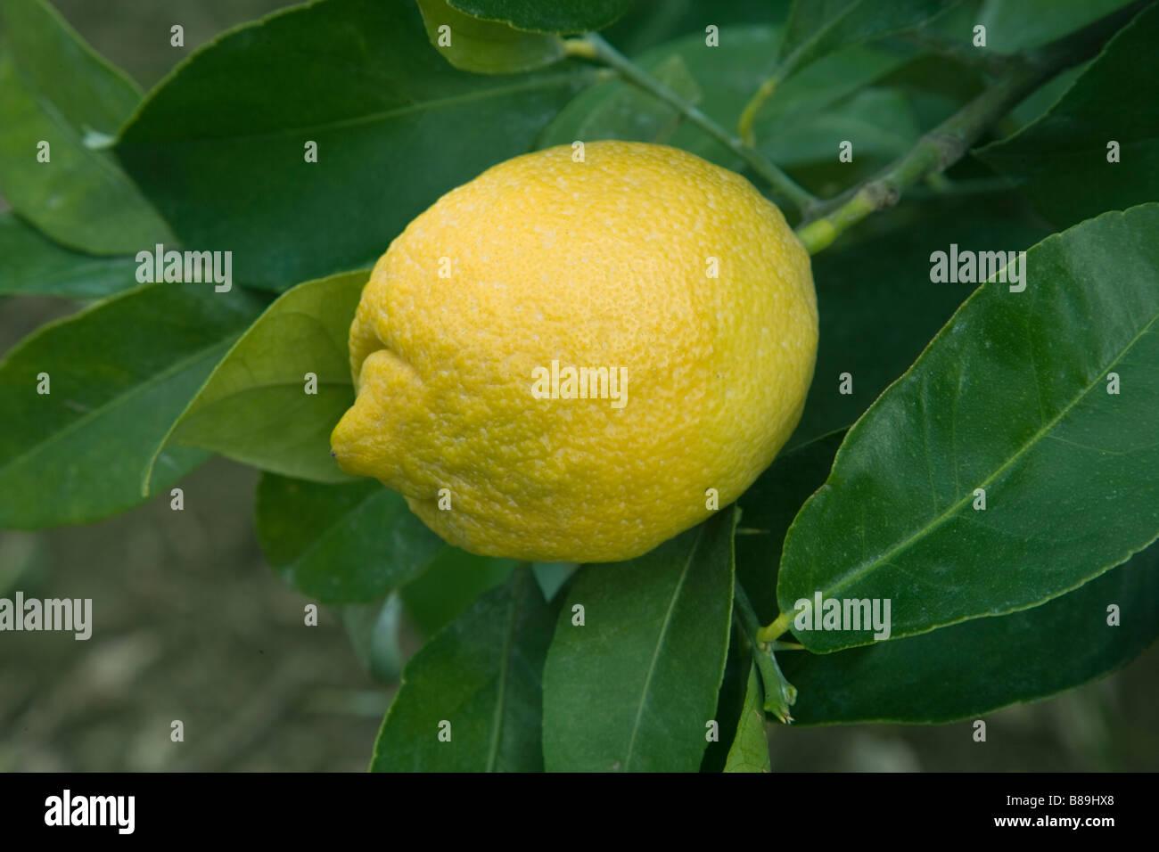 Mature Lemon 'Lisbon' variety hanging on branch. - Stock Image