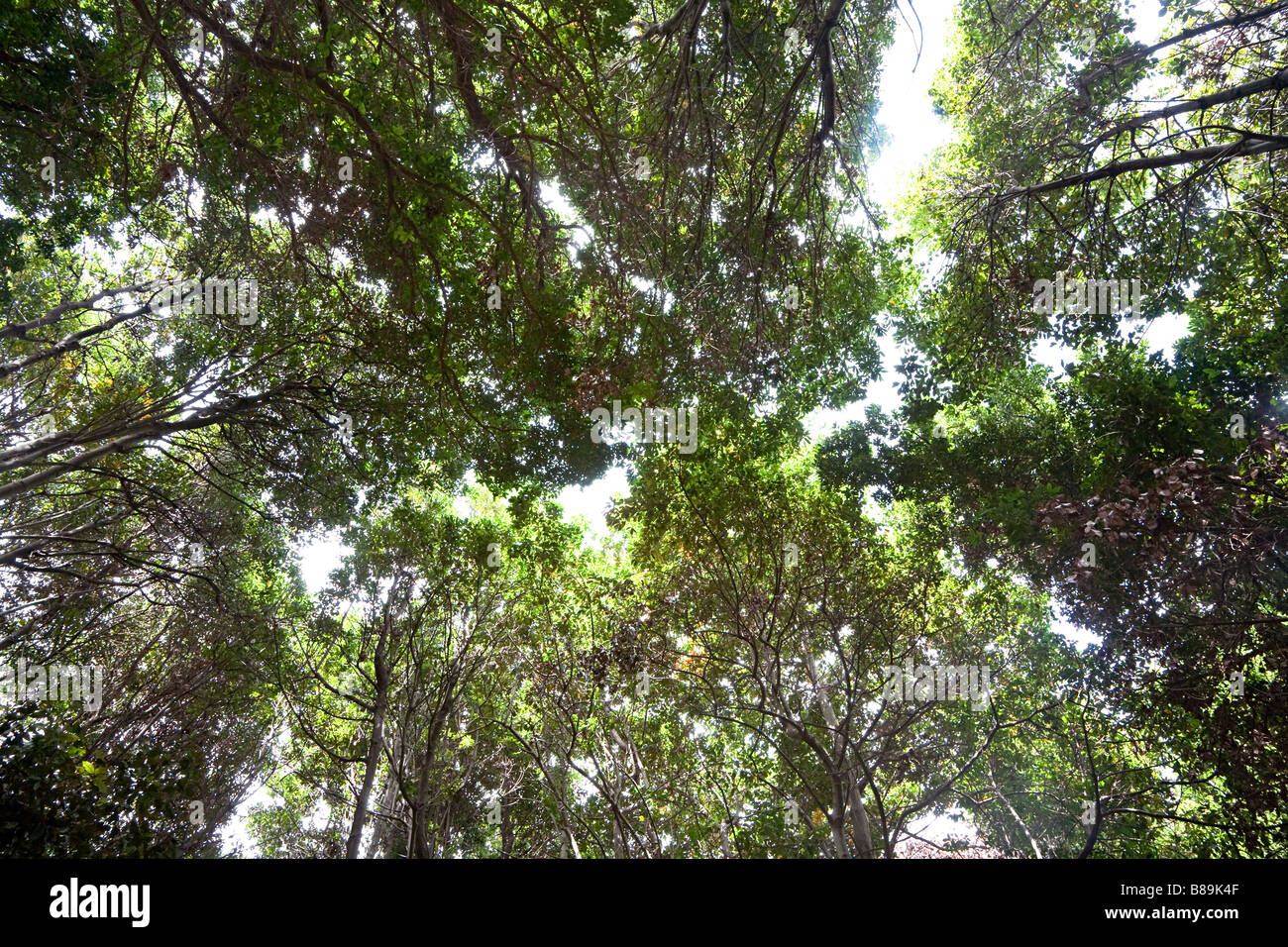 Looking up into tree canopy of laurel subtropical forest Gran Canaria Spain - Stock Image