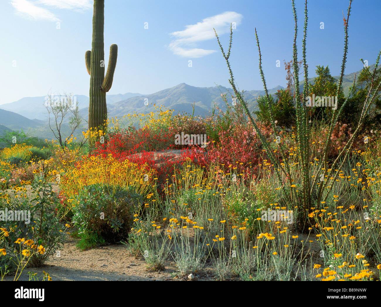 Saguaro cactus and spring flowers below mountains in california saguaro cactus and spring flowers below mountains in california desert scenic near palm springs mightylinksfo