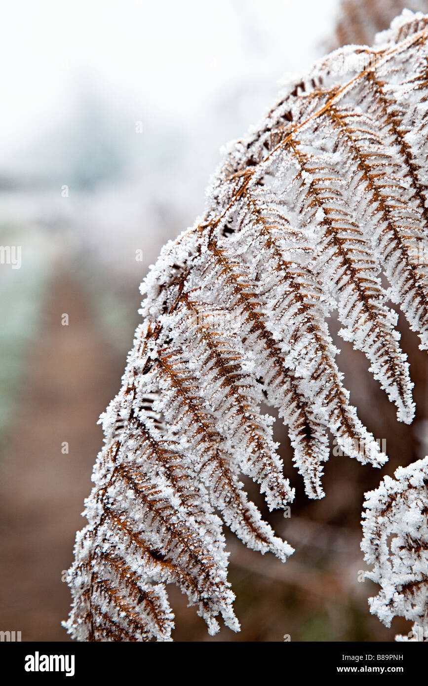 Bracken covered in frost UK - Stock Image