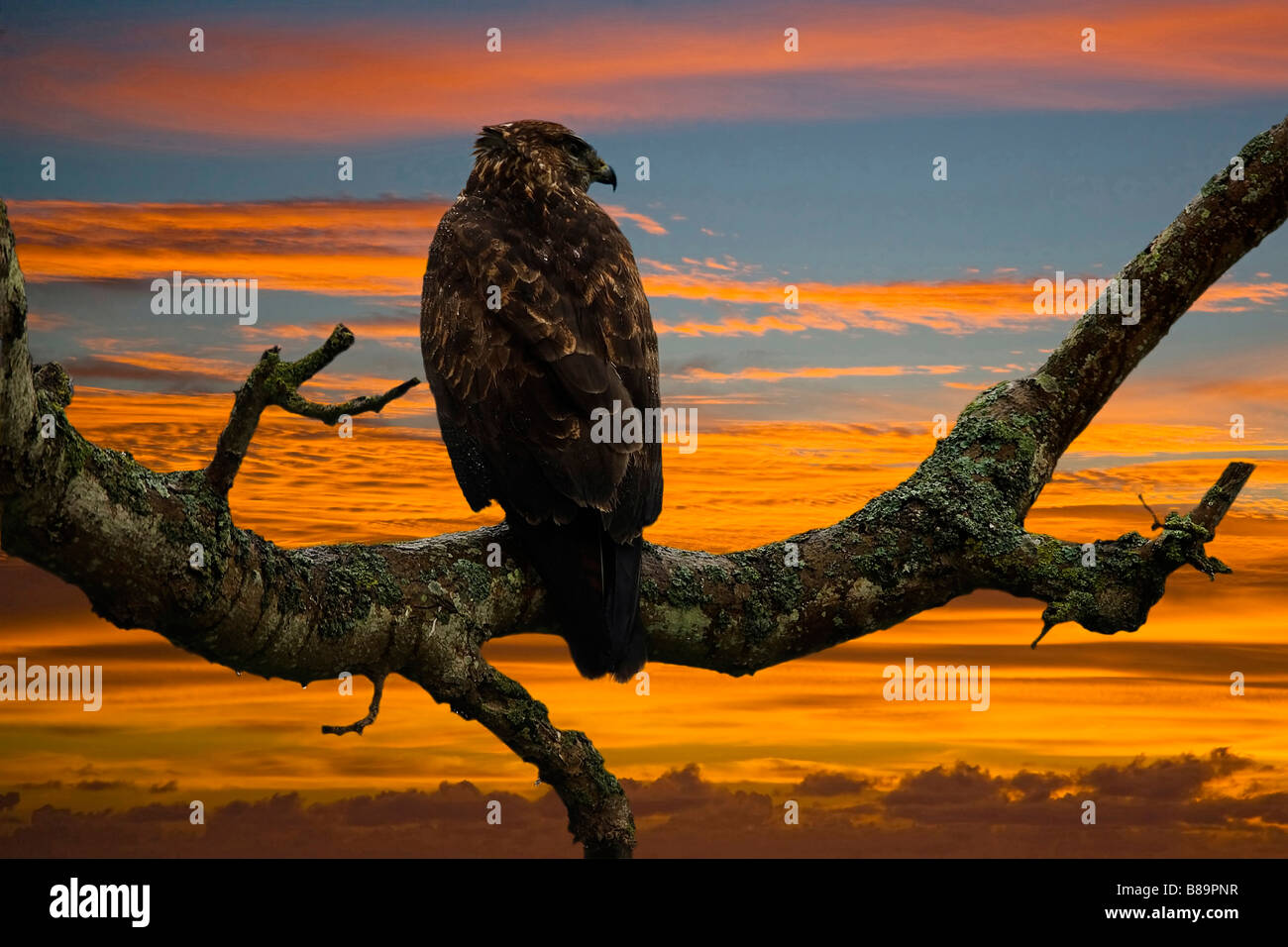 Buzzard Buteo bguteo Accipitridae - Stock Image