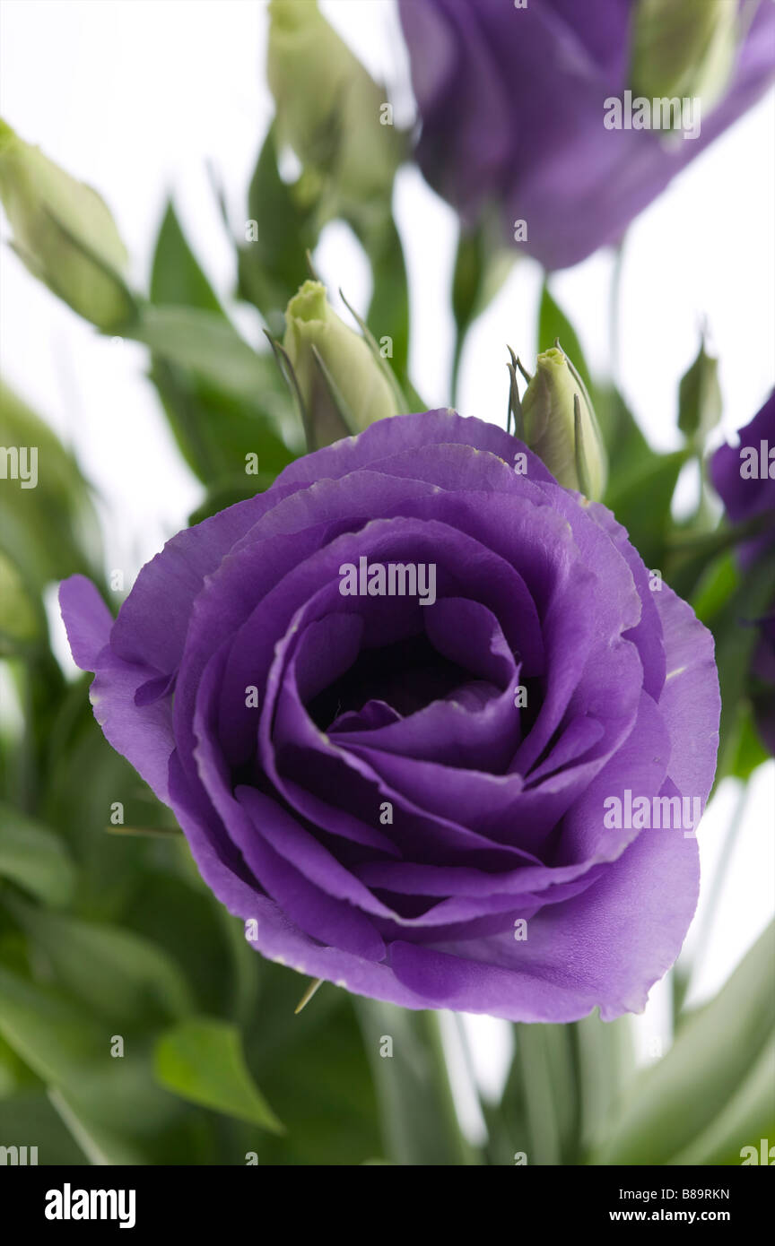 Purple flower close up, flower head of rose like flower - Stock Image