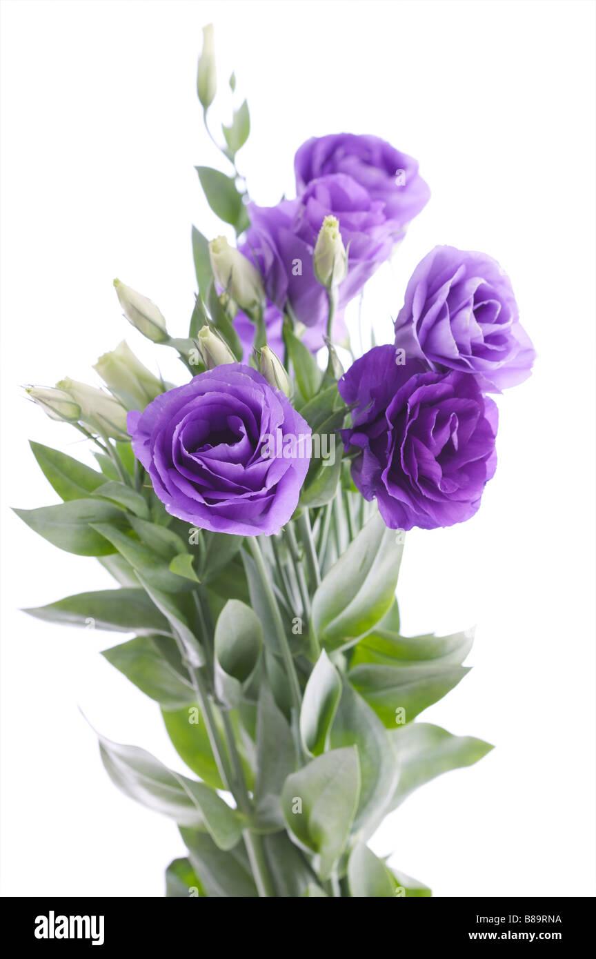 Cut Purple Flowers As Bunch As If In Vase Purple Heads Rose Like