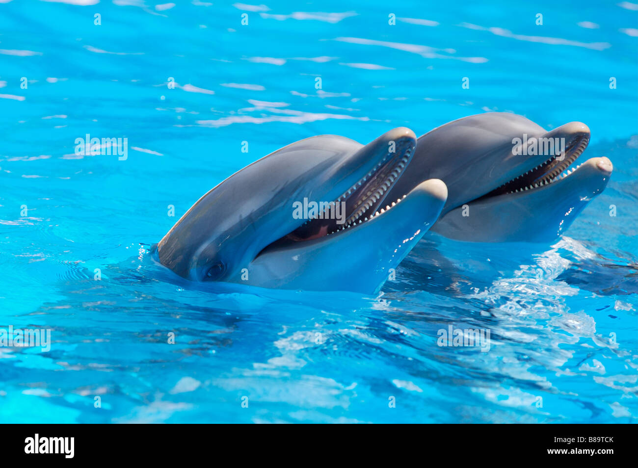 Happy dolphins in the blue water of the swimming pool Stock ...