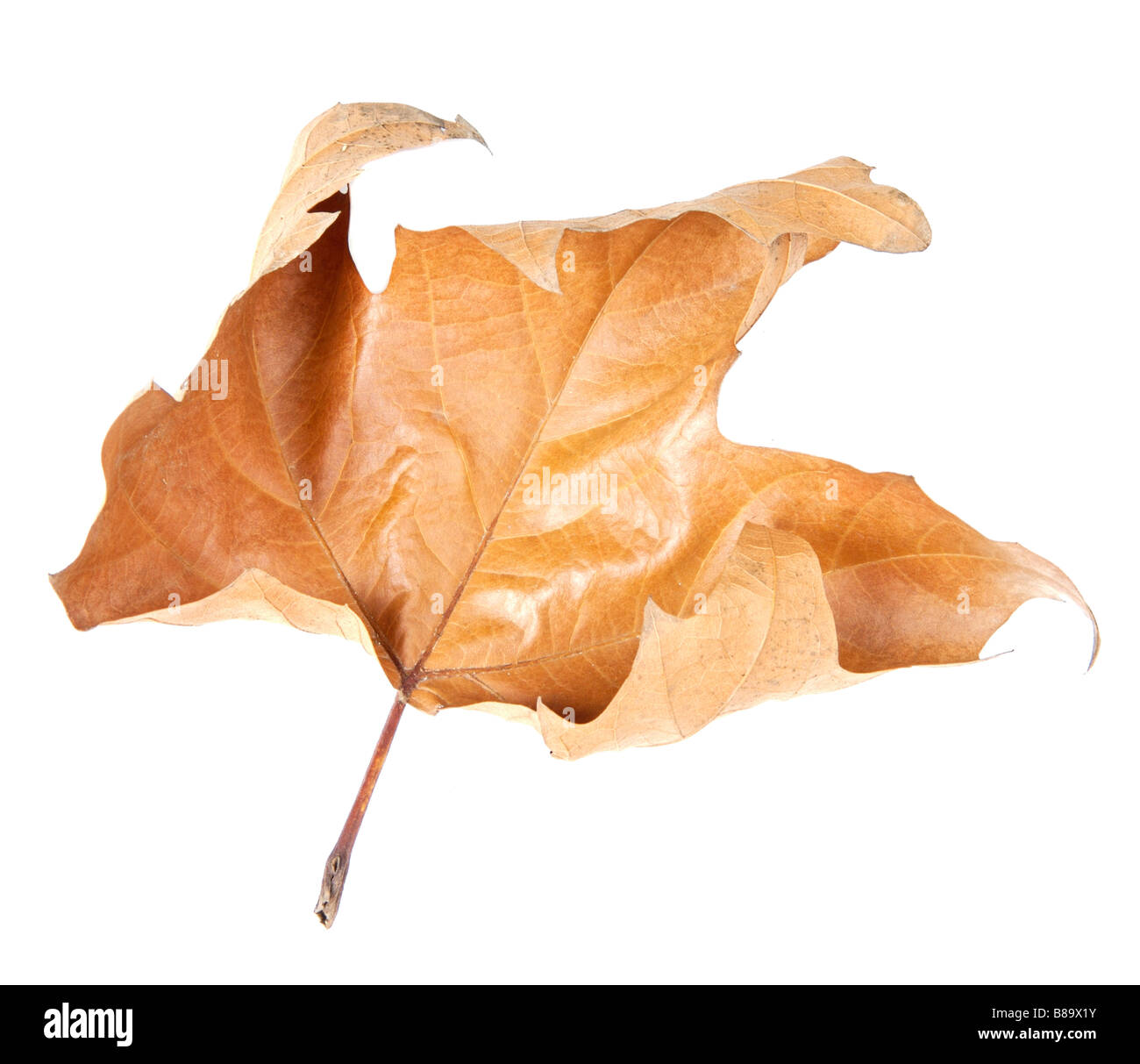 fallen leaf of a tree in autumn a over white background Stock Photo