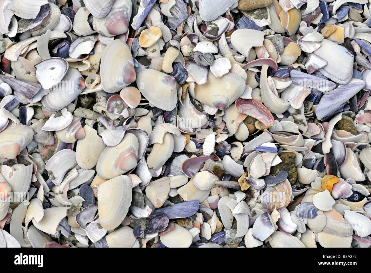 Close-up of shells on the beach of Paternoster Western Cape South Africa - Stock Image