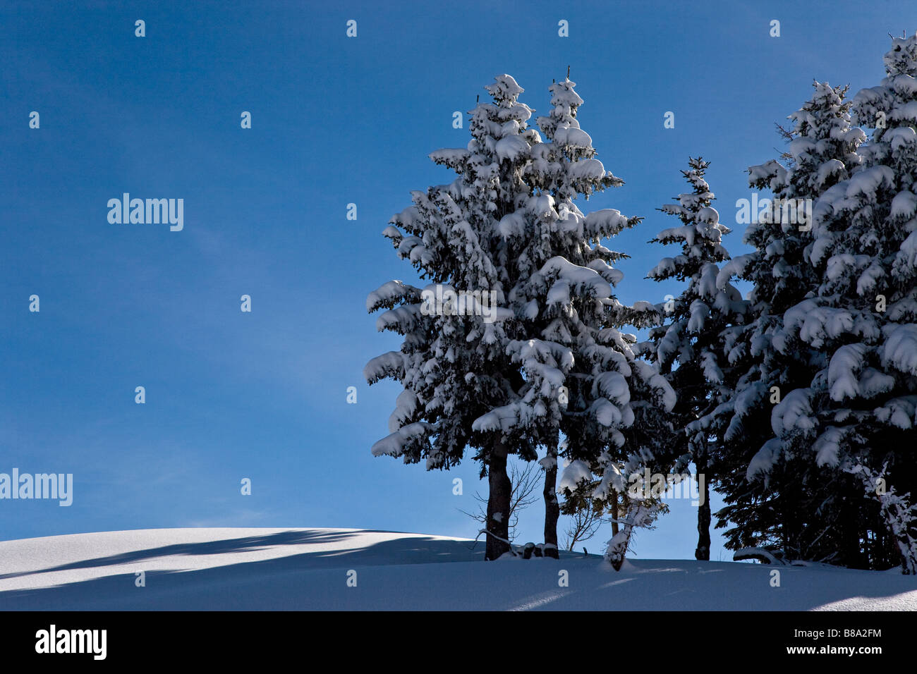 Snow covered tres on ski slope with vivid blue sky - Stock Image