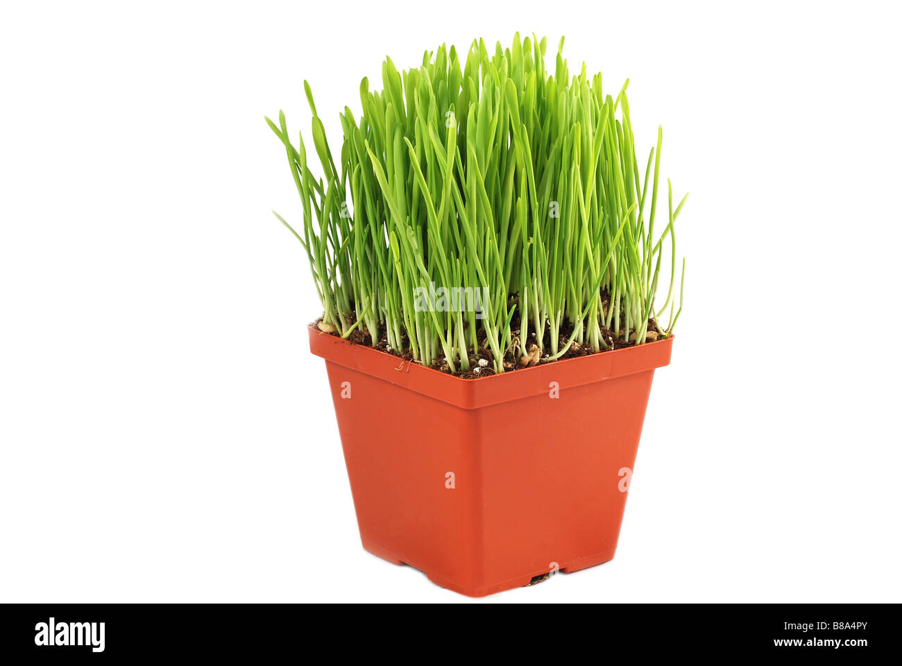 Pot With Wheat Grass Isolated On White Stock Photos Pot With Wheat