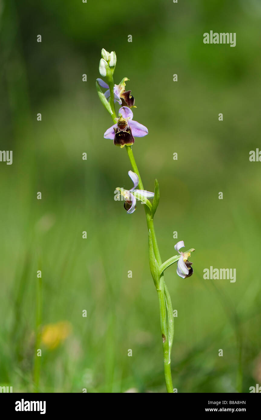 Hummel Ragwurz (Ophrys holoserica) - European Ophrys Orchid - Stock Image
