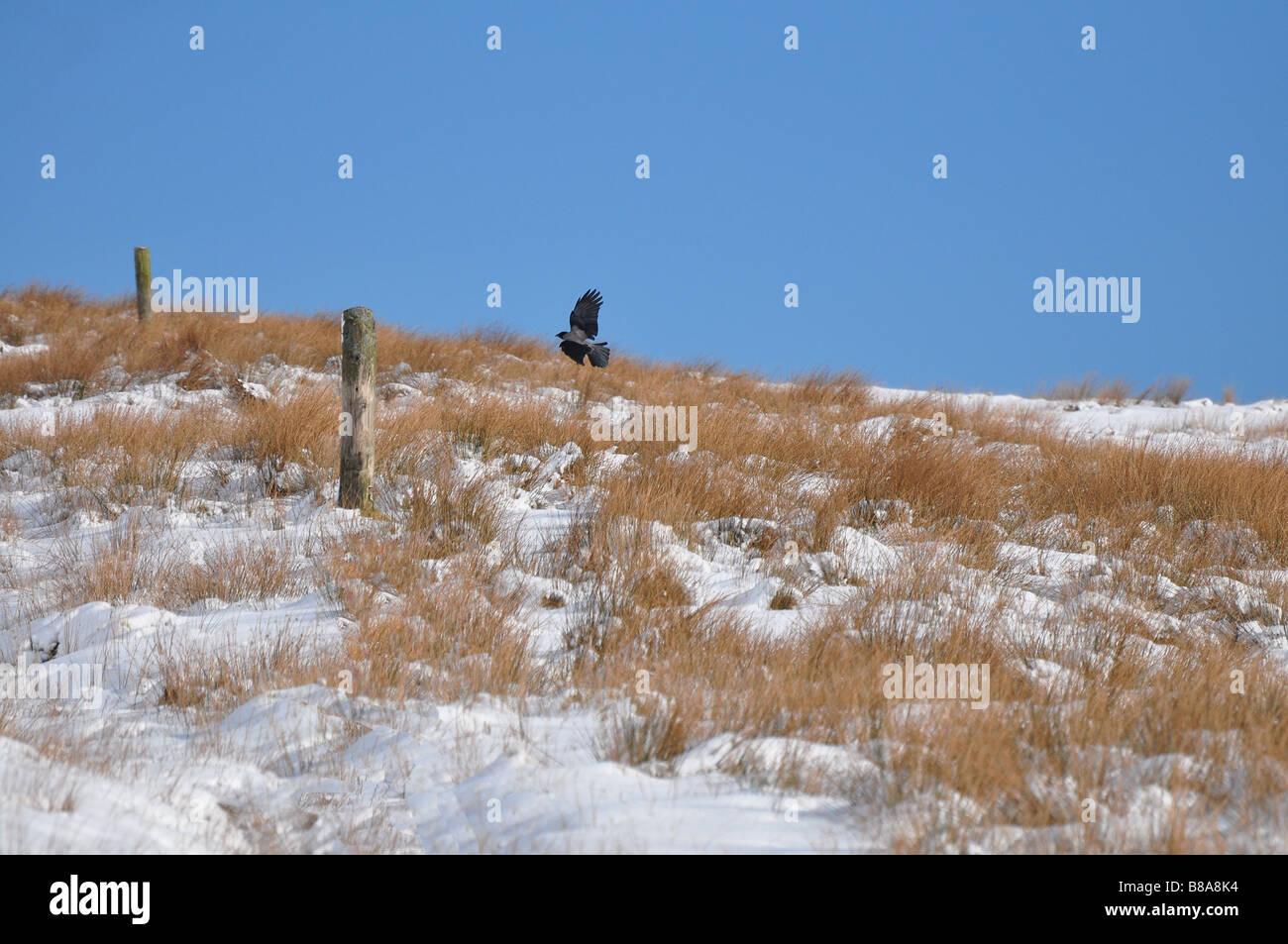 Falcon preparing to land on a fence post in winter - Stock Image