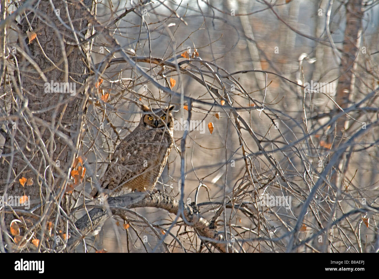 Rocky Mountains great horned owl (bubo virginianus pinorum) sitting in Plains Cottonwood tree, Cherry Creek State - Stock Image
