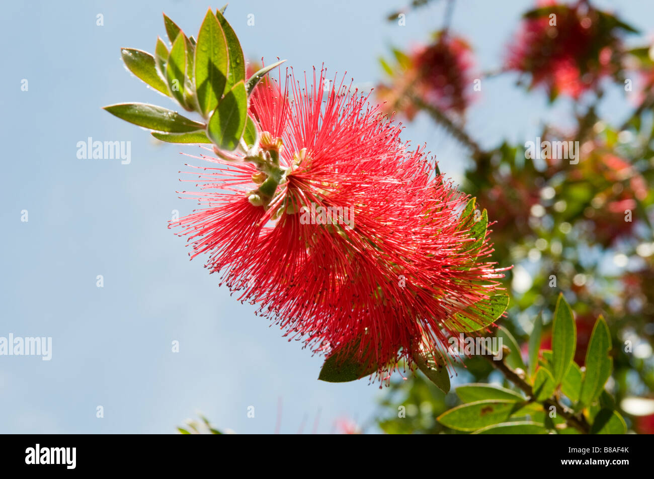 Red Flowering New Zealand Christmas Tree Stock Photos Red