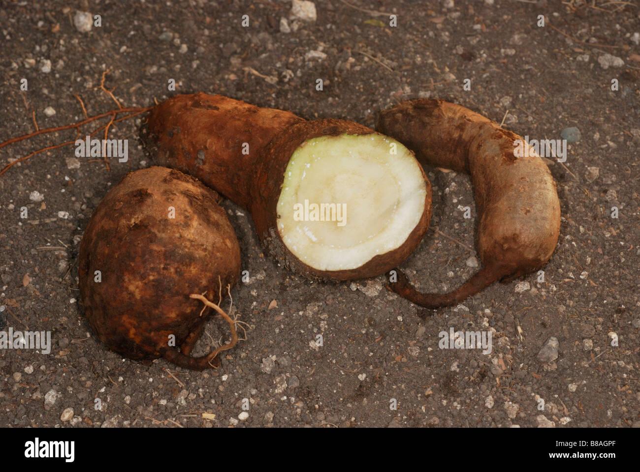 The tuberous root of Ipomoea mauritiana, the giant potato called vidari kand in Maharashtra. Stock Photo