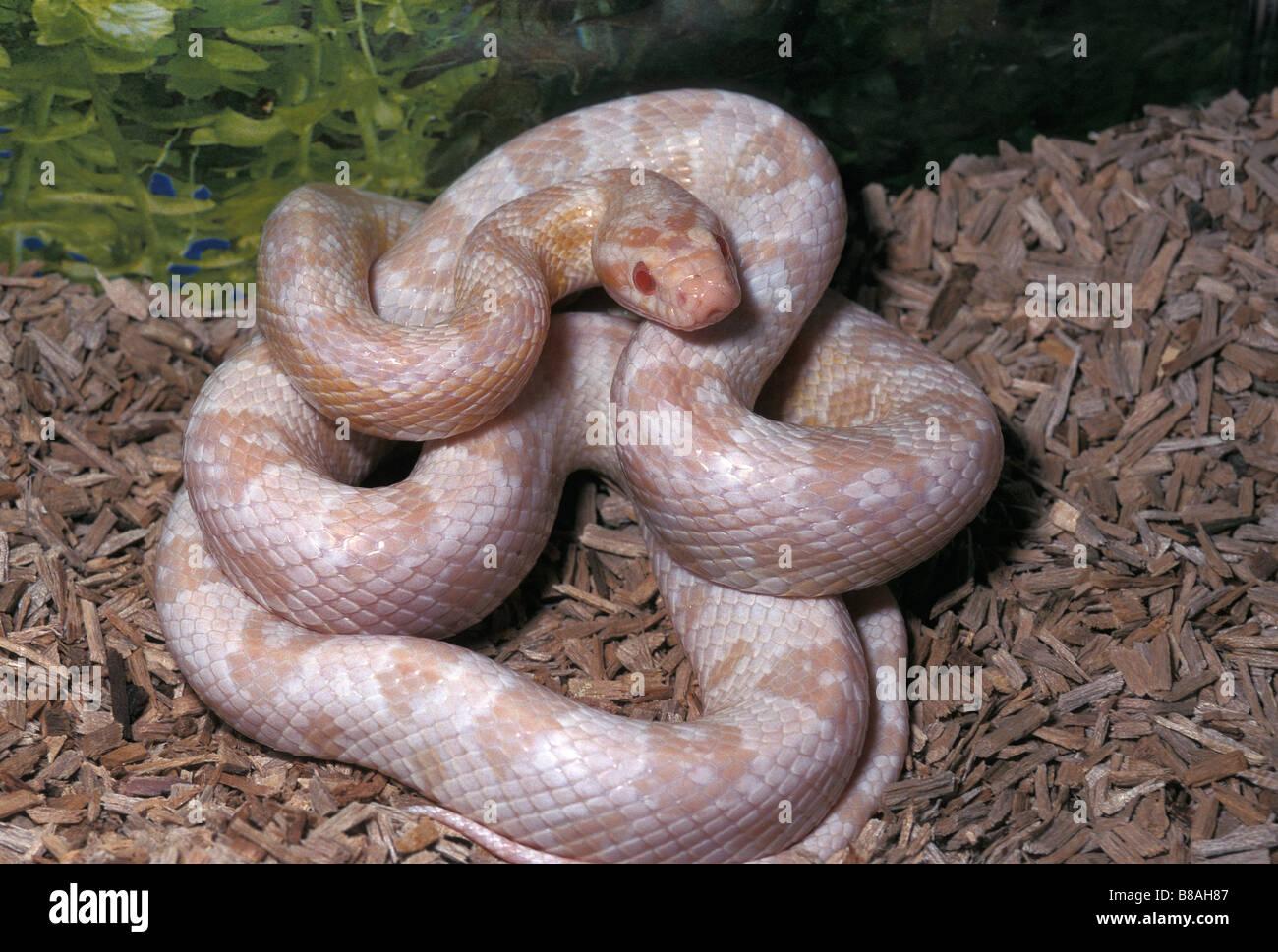 Corn Snake Elaphe guttata