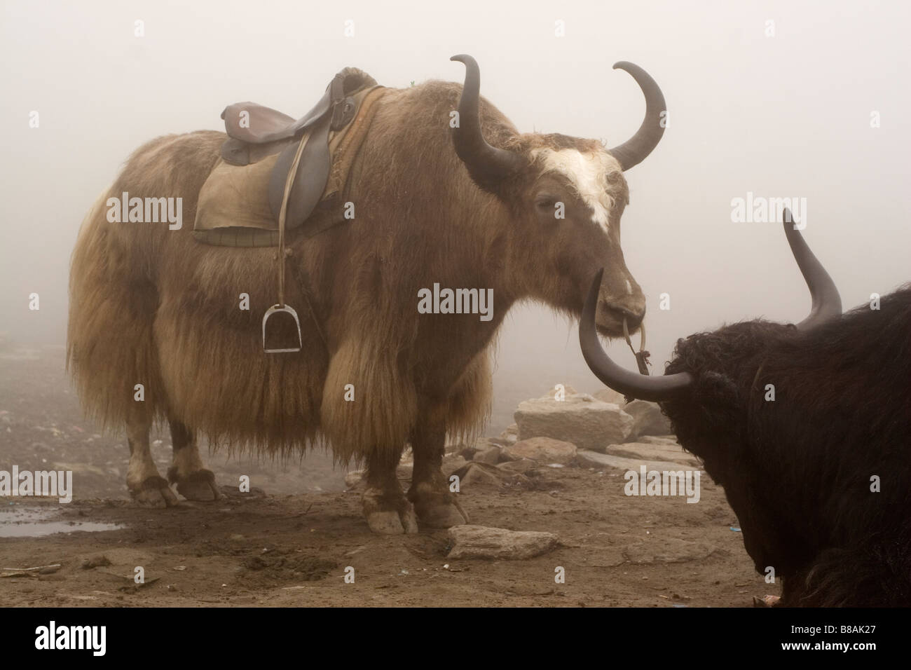 Yaks on the Rohtang Pass in Himachal Pradesh in northern India. - Stock Image