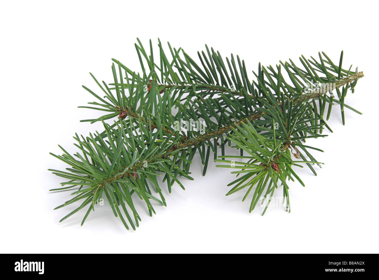 Tannenzweig fir branch 04 - Stock Image
