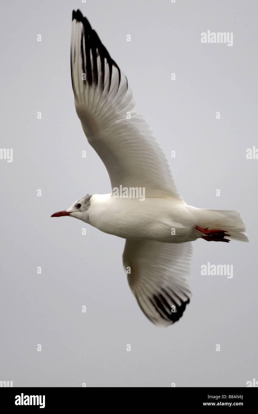 Black-headed Gull Larus ridibundus - Stock Image