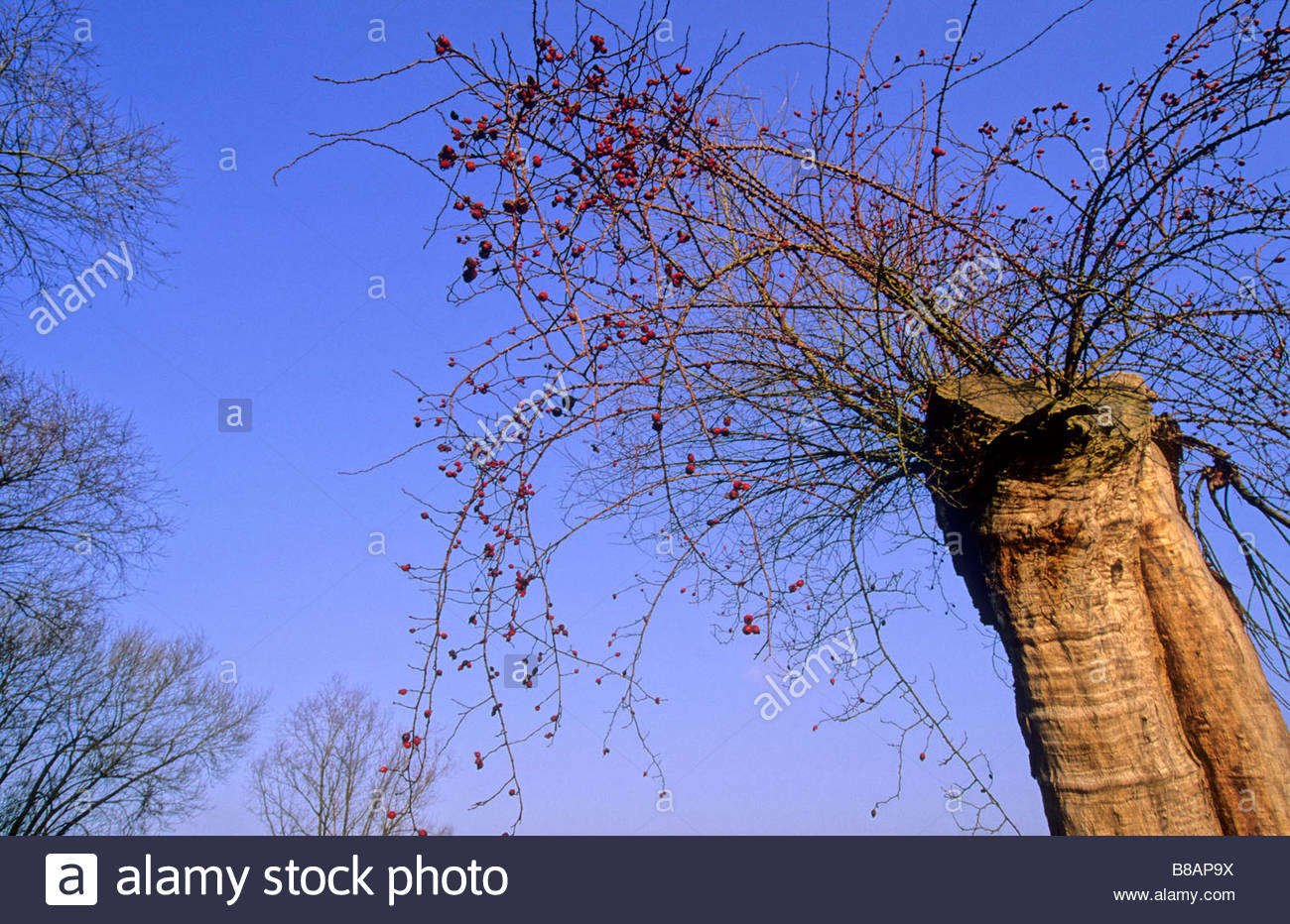 wild rose growing in hollow willow Lenzen Germany Eine Wildrose welche im hohlen Stamm einer abgestorbenen Weide - Stock Image