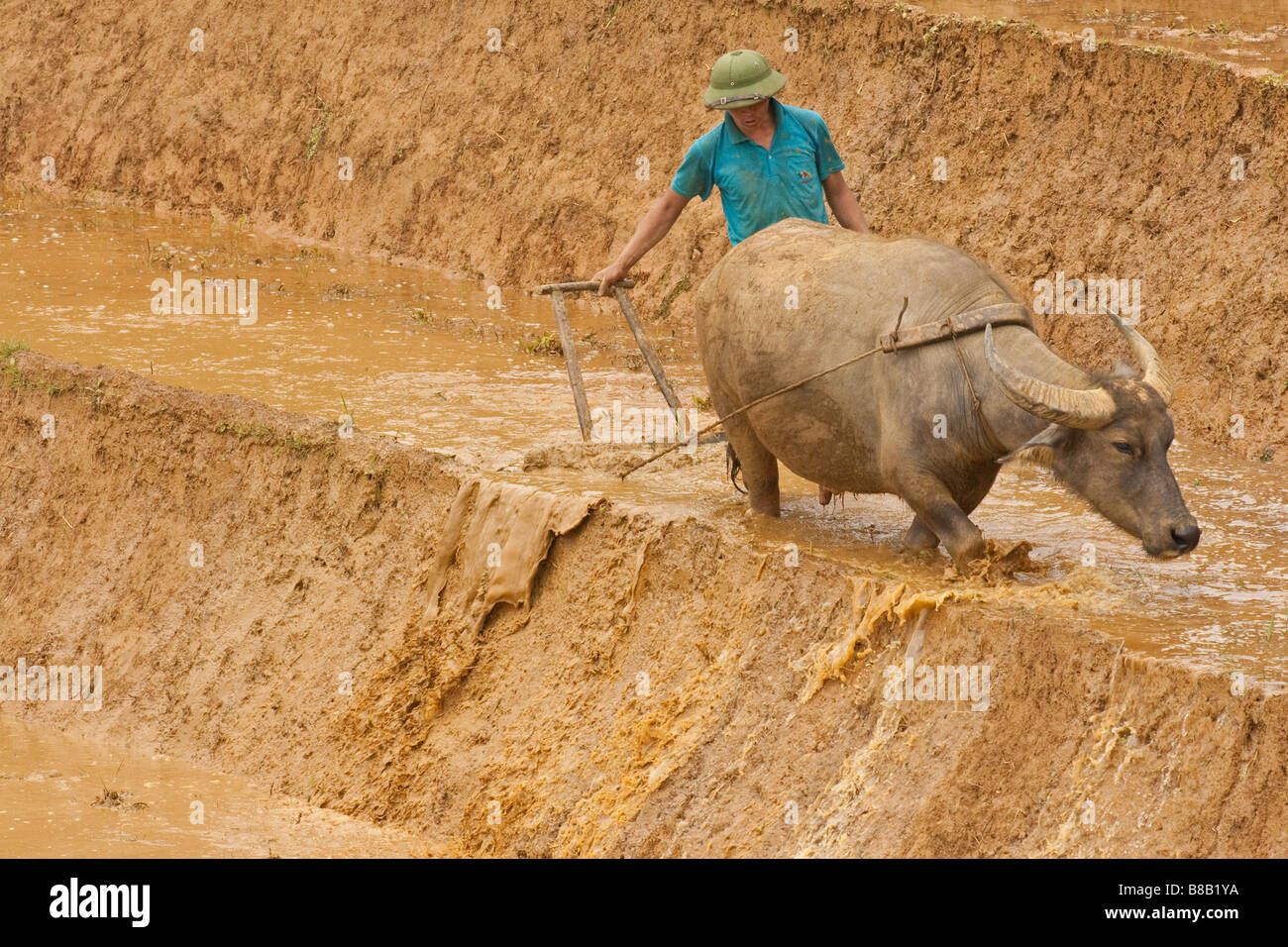 Traditional Vietnam and uncultivated rice terraces with buffalo and man ploughing the muddy wet rice terraces ready - Stock Image