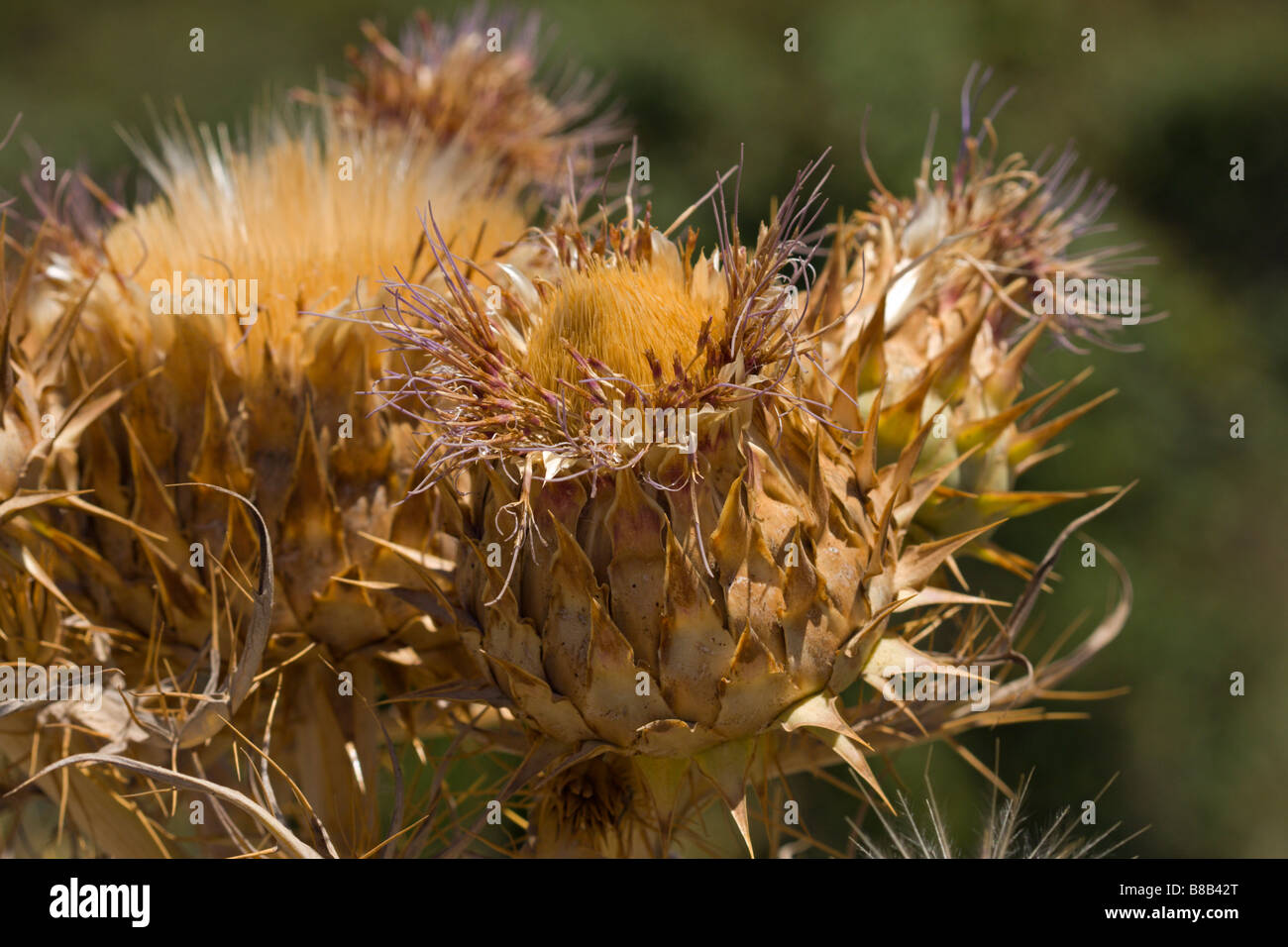 thistle dry flower - Stock Image