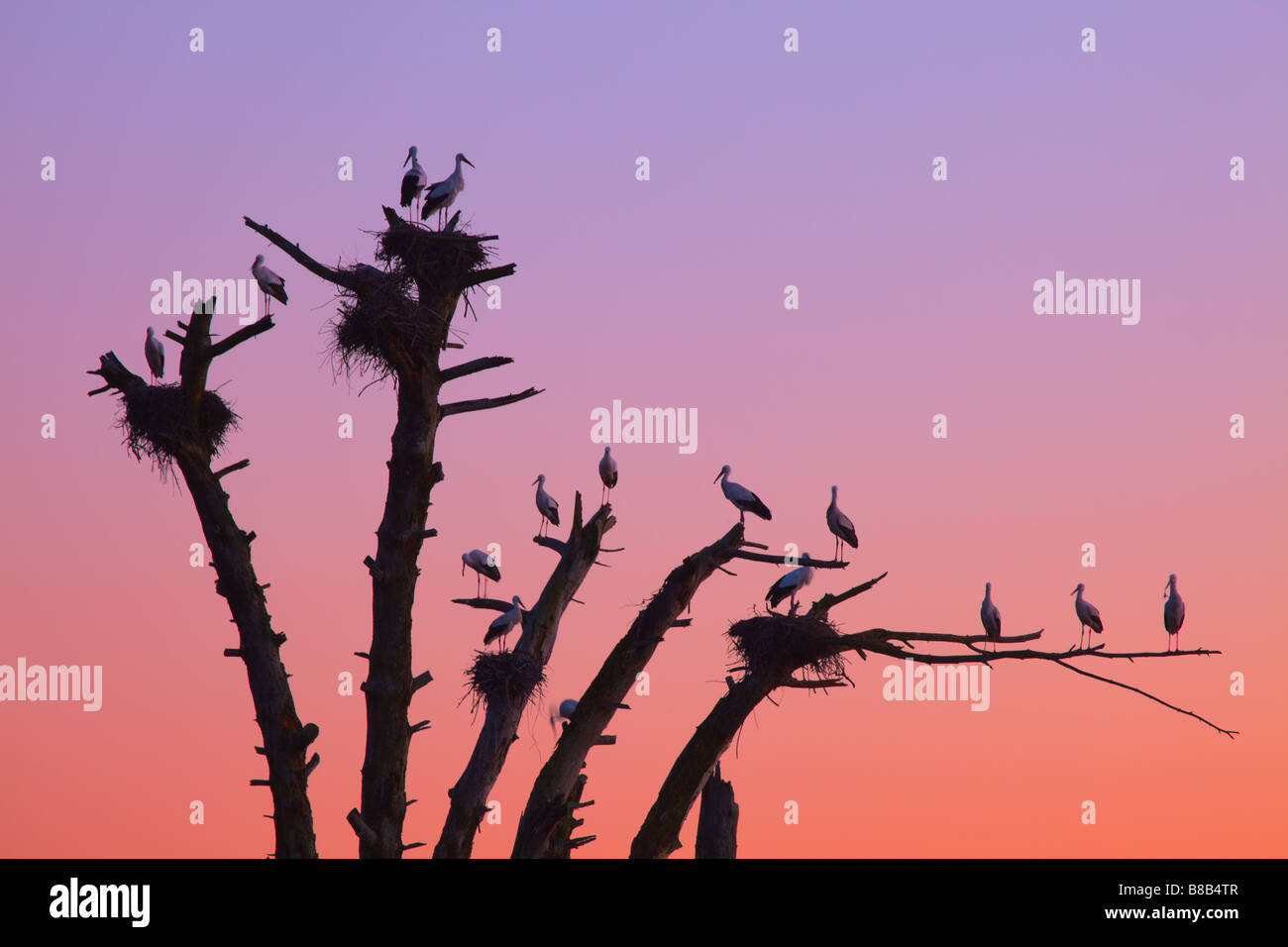 Old tree with White Storck nests at dusk, Pinhal da Poupa, Alentejo , Portugal Stock Photo
