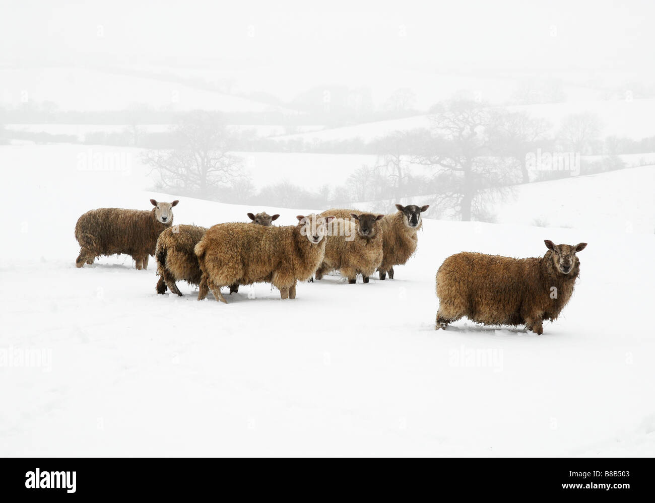 Sheep in snow and fog at Hanging Houghton Northants UK February 2009 Photo by John Robertson - Stock Image