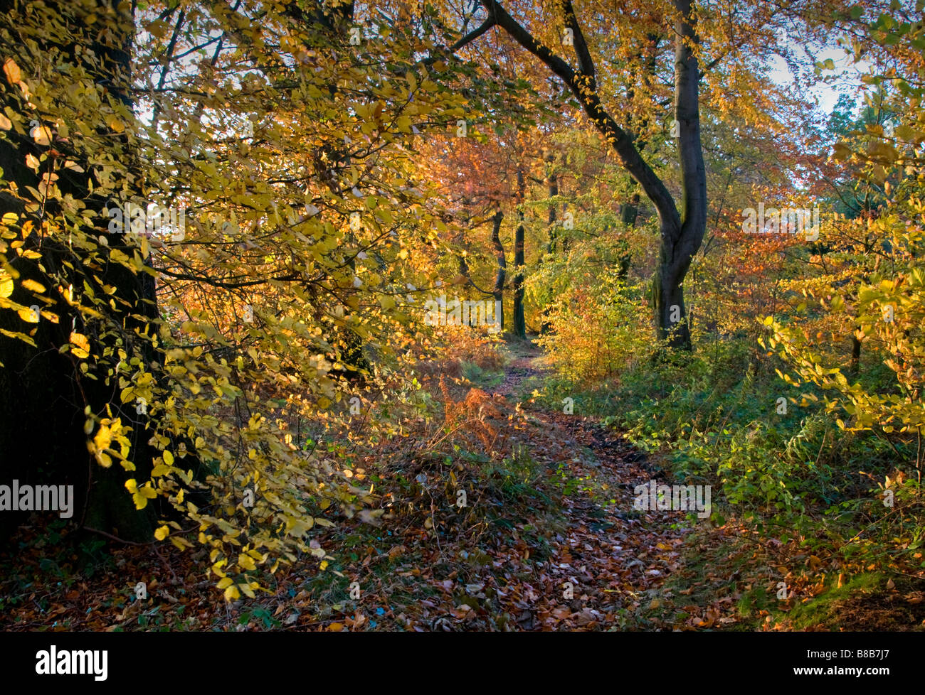 Wooded Track on Artists Lane on 'The Edge' in Autumn, Alderley Edge, Cheshire, England, UK - Stock Image