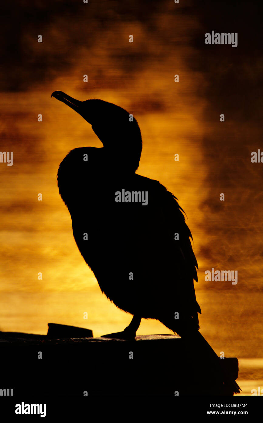Double crested cormorant silhouette at sunrise Victoria British Columbia Canada - Stock Image