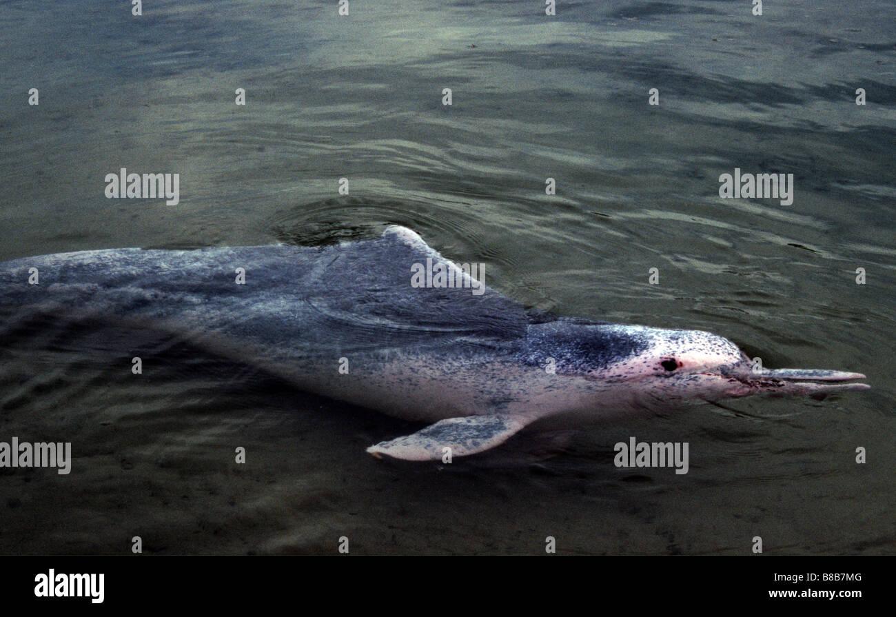 Pink humpback dolphin, Sousa chinensis - Stock Image