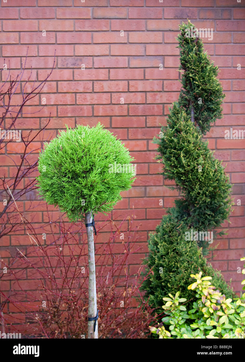 Topiary ornamental tree trained into a spiral shape and a Goldcrest ball - Stock Image