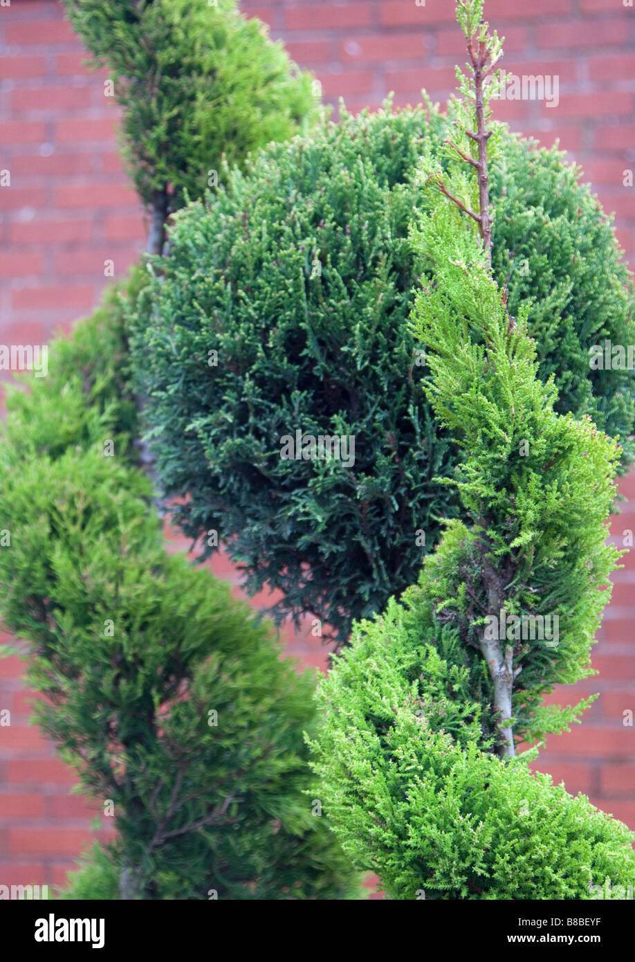 Two Topiary ornamental trees trained into a spiral shape and a cupressus ball - Stock Image