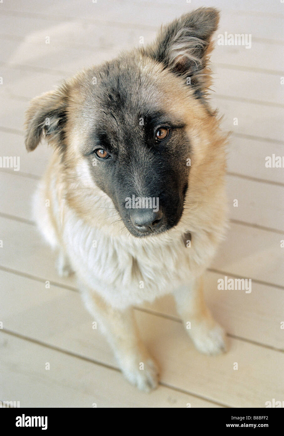 german shepherd great pyrenees mix