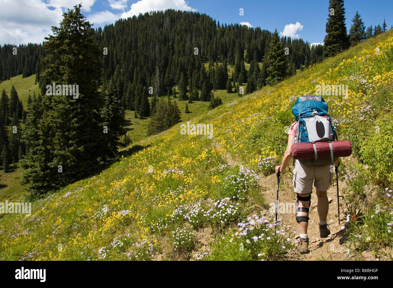 Woman hikes through flower-covered hillside, Sun Park Trail, West Elk Wilderness Area, Gunnison National Forest, - Stock Image