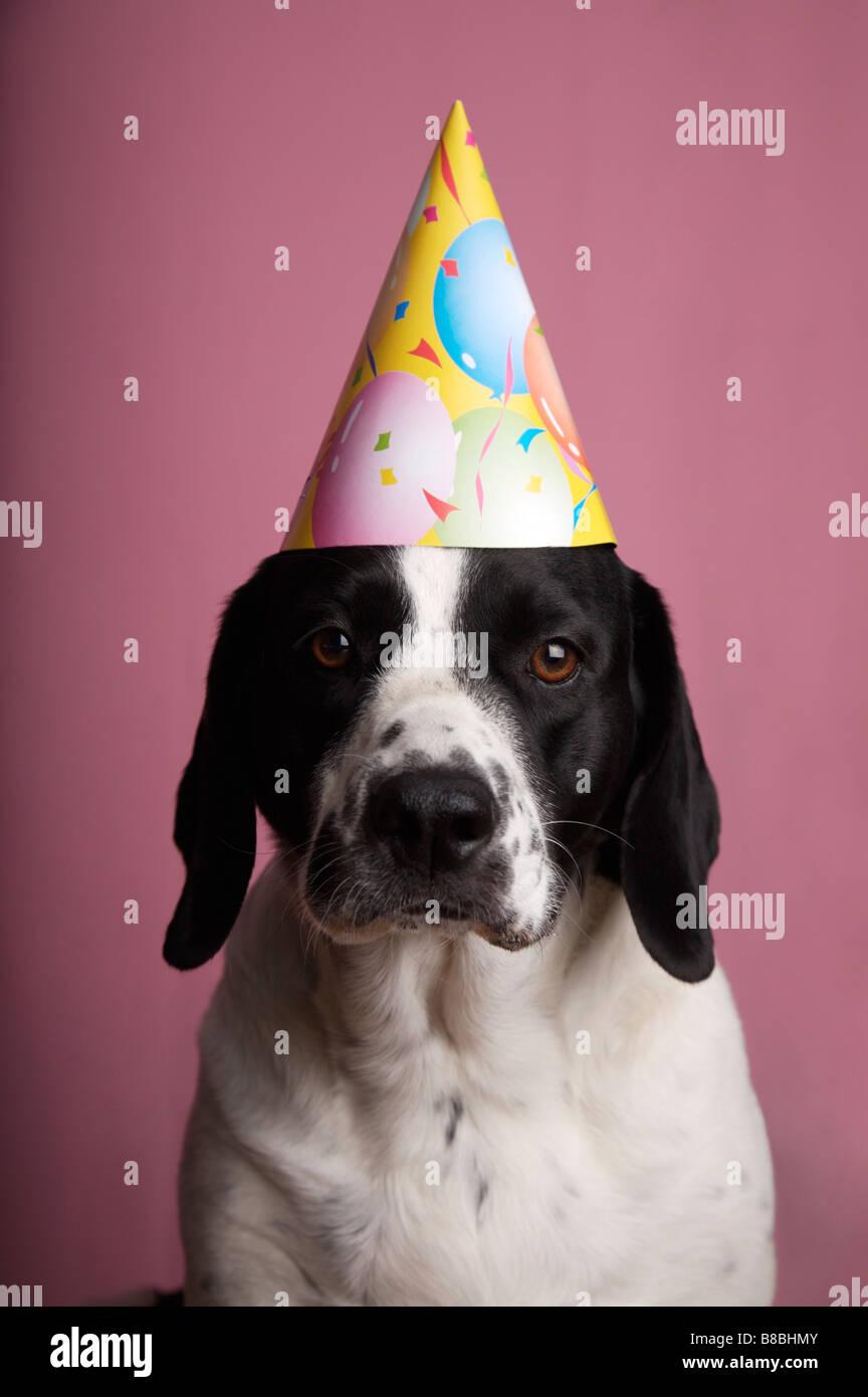 Springer Spaniel Mix Dog Birthday Hat
