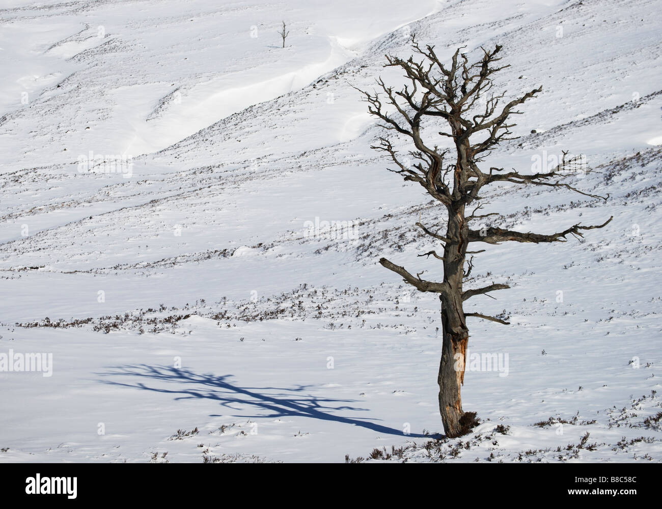 Dead Scots Pine tree, a remnant of the Caledonian Forest in Glen Luibeg, Cairngorm National Park, Aberdeenshire, - Stock Image