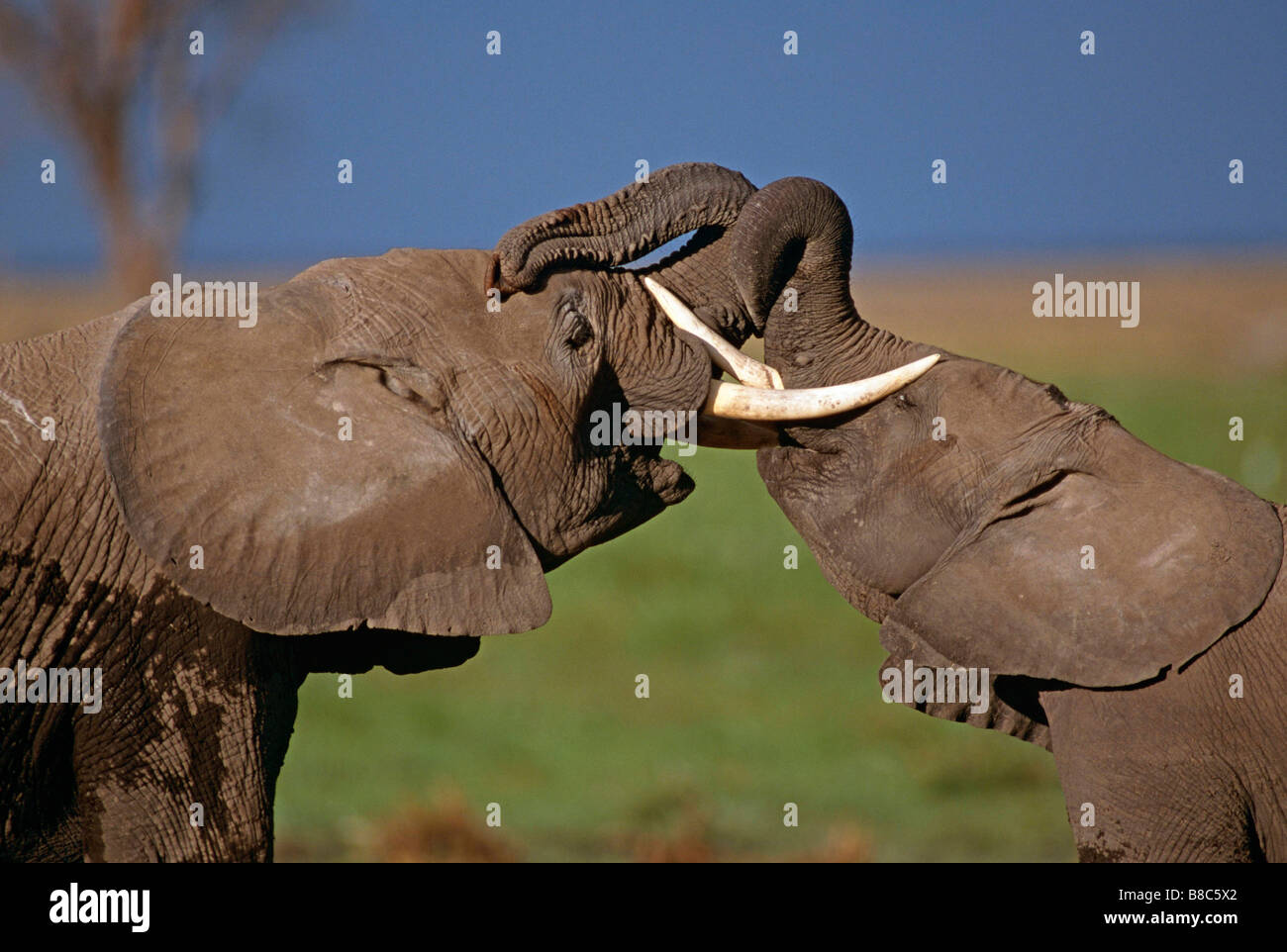 African elephant males sparring - Stock Image