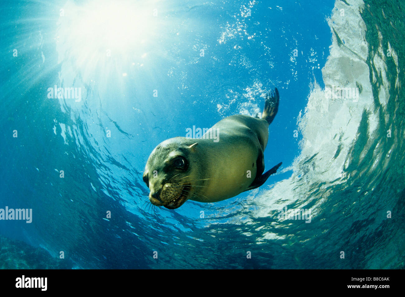 Californian Sealions - Stock Image