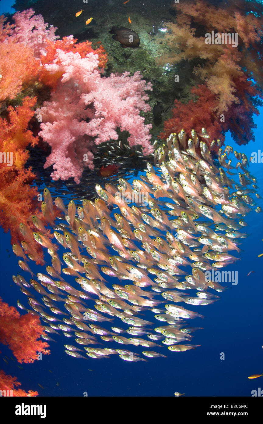 Sweepers around soft coral - Stock Image