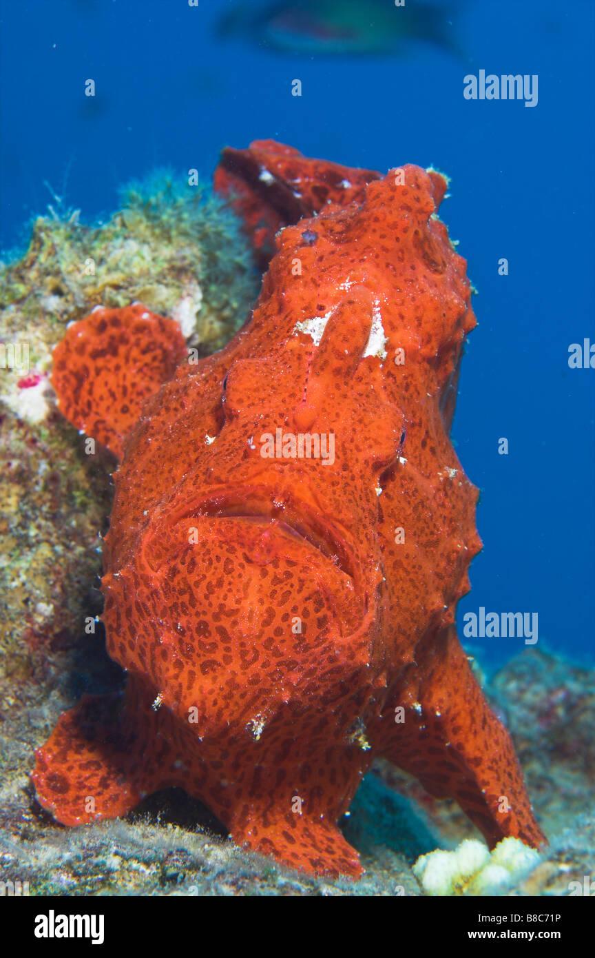 Facial view of Giant Anglerfish - Stock Image