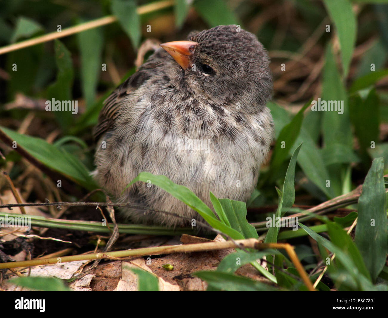 Darwin ground finch, Geospiza, looking for food on ground at Puerto Ayora Highlands, Santa Cruz Island, Galapagos - Stock Image