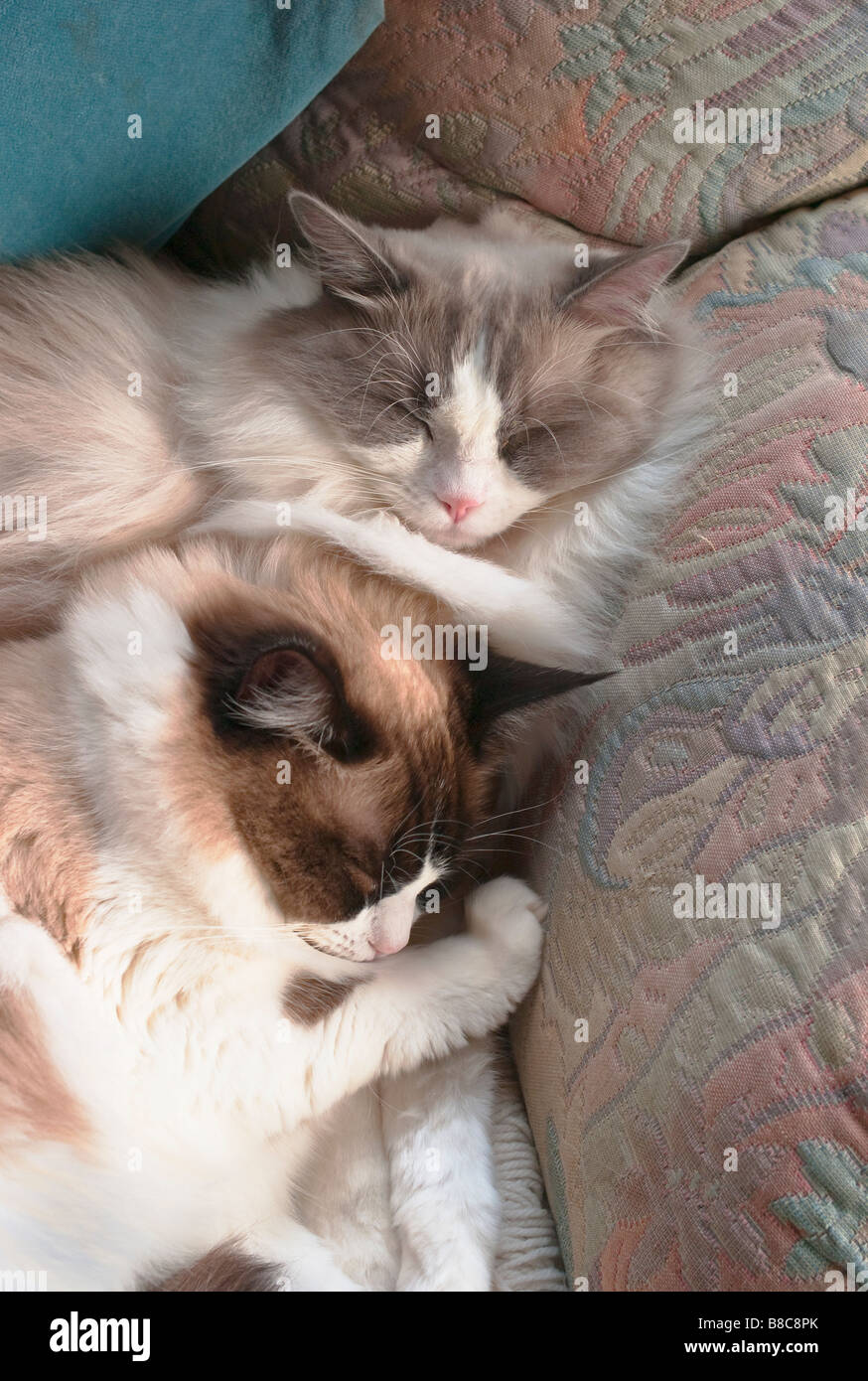 Two young Ragdolls asleep close together in winter - Stock Image