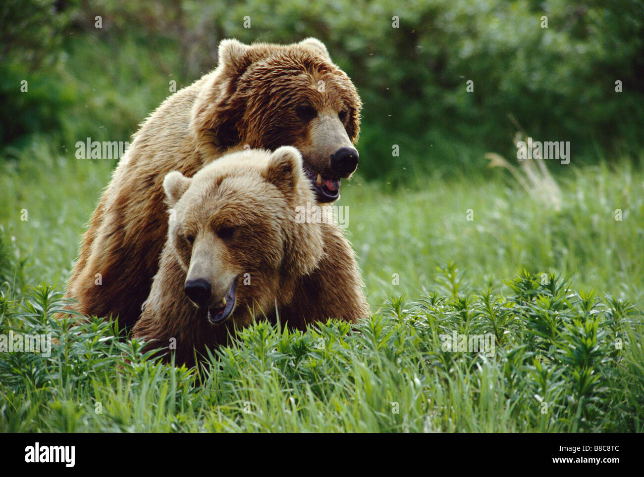 GRIZZLY BEARS mating - Stock Image