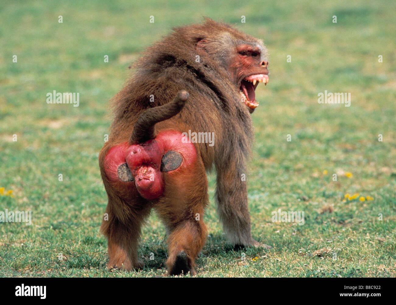 Hamadryas Baboon Butts