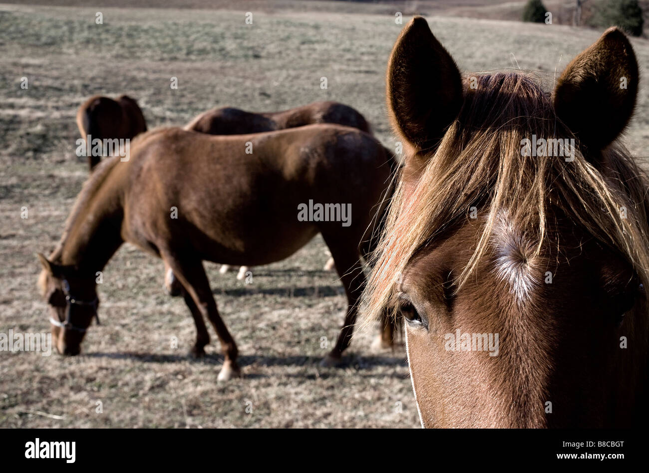 Paso Fino horses in a pasture in Tennessee - Stock Image