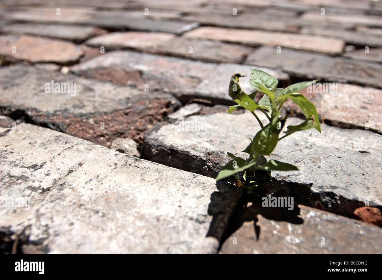 Plant Growing between Stones Road - Stock Image